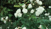 makro : Panorama of bushes with blossoms in a garden in spring day. Close-up in movement of flowers and leaves