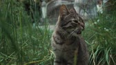 punci : Funny gray cat is sitting in garden in grass. It is meowing and turning head Stock mozgókép