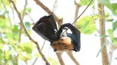 flying fox : Bat (Lyles flying fox, Pteropus lylei or Pteropodidae) perched hanging on a tree in the wild Stock Footage