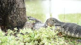 salvator : Lizard (Water monitor or Asian water monitor) is a large lizard is type reptile eating a fish at nature outdoor park
