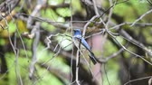 muscicapidae : Bird (Blue-and-white Flycatcher, Japanese Flycatcher) male blue and white color perched on a tree in the garden risk of extinction