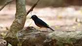 shama : Bird (White-rumped shama or Copsychus malabaricus) male are glossy black with a chestnut belly and white feathers on the rump and outer tail perched on a tree in the garden