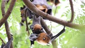 genitals : Bat (Lyles flying fox, Pteropus lylei or Pteropodidae) perched hanging on a tree in the wild Stock Footage
