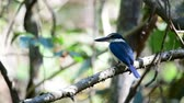 madármegfigzelés : Bird (Collared kingfisher, White-collared kingfisher) blue color and white collar around the neck perched on a tree in a nature mangrove wild