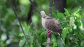 empoleirar : Bird (Pigeon, Dove or Disambiguation) Pigeons and doves are likely the most common birds in the world perched on a tree in a nature mangrove wild Stock Footage