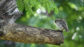 empoleirar : Bird (Spotted owlet, Athene brama, Owl) brown, black and white color perched on a tree in a nature wild