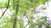 muscicapidae : Bird (Asian brown flycatcher, Muscicapa dauurica, Siamensis) grey-brown color perched on a tree in a nature wild