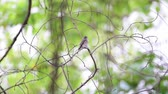 small animal : Bird (Asian brown flycatcher, Muscicapa dauurica, Siamensis) grey-brown color perched on a tree in a nature wild