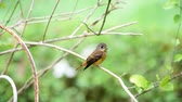empoleirado : Bird (Ferruginous Flycatcher, Muscicapa ferruginea) brown sugar, orange and red color perched on a tree in a nature wild, Distribution Uncommon