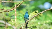 panik : Bird (Verditer Flycatcher, Eumyias thalassinus) blue on all areas of the body, except for the black eye-patch and grey vent perched on a tree in a nature wild, Distribution Common