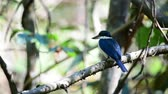 empoleirar : Bird (Collared kingfisher, White-collared kingfisher) blue color and white collar around the neck perched on a tree in a nature mangrove wild