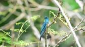 empoleirado : Bird (Verditer Flycatcher, Eumyias thalassinus) blue on all areas of the body, except for the black eye-patch and grey vent perched on a tree in a nature wild, Distribution Common