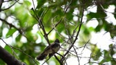 Bird (Malaysian Pied Fantail, Rhipidura javanica) black and white color perched and feeding to baby bird on a tree in a nature wild Dostupné videozáznamy