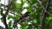 empoleirado : Bird (Malaysian Pied Fantail, Rhipidura javanica) black and white color perched and feeding to baby bird on a tree in a nature wild Stock Footage