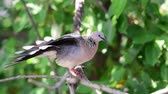 empoleirar : Bird (Dove, Pigeon or Disambiguation) Pigeons and doves perched on a tree in a nature wild