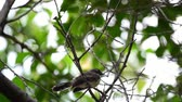 empoleirado : Bird (Malaysian Pied Fantail, Rhipidura javanica) black and white color perched on a tree in a nature wild