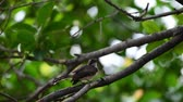 influenzy : Bird (Malaysian Pied Fantail, Rhipidura javanica) black and white color perched on a tree in a nature wild