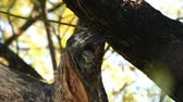 Bird (Spotted owlet, Athene brama, Owl) brown, black and white color perched on a tree in a nature wild