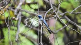 en az : Bird (Verditer Flycatcher, Eumyias thalassinus) blue on all areas of the body, except for the black eye-patch and grey vent perched on a tree in a nature wild, Distribution Common