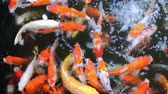 Feeding colourful fancy carp fish of Koi carps crowding competing for food in the pool or farm, ultra HD 4k.