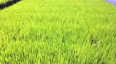 Rice field, Rice sprout seedings farm or paddy field panning camera to empty blue sky, 4k ultra HD slow motion.
