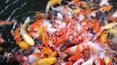 Feeding colourful fancy carp fish of Koi carps crowding competing for food in the pool or farm, full HD. Stok Video