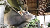 Ox or cow is eating green grass in farm Thailand. Stok Video