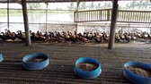 Group of ducks in farm, traditional farming in Thailand, animal farm, 4K ultra HD. Stok Video