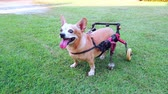 Happy cute little dog in wheelchair or cart support legs walking running in grass field, ultra HD 4K. Stok Video