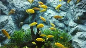 Electric yellow cichlid (Labidochromis caeruleus) or lemon yellow lab the blue streak hap in fish tank or aquarium, 4K