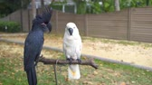 amerika papağanı : Black and white cockatoo parrots sit on a rack stand