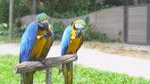 calçada : Parrots Ara sits on a stand and eat nuts Stock Footage