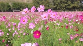 Cosmos flowers in field Stok Video