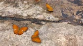 Group of butterfly suck eat mineral and nutrients on sand with Insect , Pang Sida National Park, Thailand Stok Video