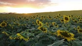flowering sunflowers on a hill background and sunset time Stok Video