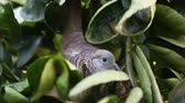 pigeon nest : close up of dove bird hatch eggs on tree in nature. Stock Footage