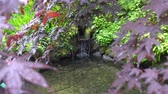 Japanese botanical zen garden with red and green Leaves with water melts from snow and Iwana fish Stok Video
