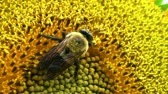 нектар : Close-up of bumble bee extracting nectar from head of large sunflower.  Стоковые видеозаписи
