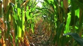 fazendas : Slow zoom of view down row of corn, with sun shining through showing signs of harvest among the stalks. Stock Footage