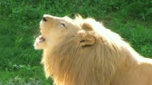 řev : Close-up of beautiful male White Lion roaring while laying in grass.