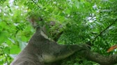 pençe : Adult koala bear uses sharp claws to climb down in tree on windy day. Stok Video