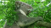 pençe : Adult koala bear uses sharp claws to climb up tree and onto branch. Stok Video