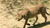 kotki : Beautiful cheetah hunting and searching for something to eat in wilderness.
