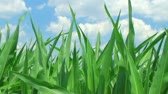 milharal : Close-up of corn against beautiful blue summer sky, with gentle breeze.