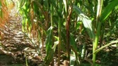 milharal : Cornstalk shows yield at end of summer growing season, nearing harvest.  Vídeos