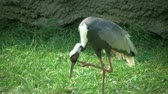 тонкий : Beautiful red-crowned crane uses its long legs for scratching its face while balancing on one leg.