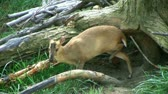 mastigação : Close-up of Reeves Muntjac deer grazing on grass and looking for food. Vídeos