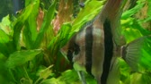 океаны : Close-up of striped orange tail freshwater angelfish in aquarium.