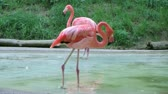 denge : Flamingo wading in shallow pool of water, uses its long neck for cleaning its feathers.