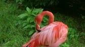 тонкий : Close-up of pink american flamingo grooming feathers with its beak. Стоковые видеозаписи